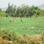 local men working in the fields